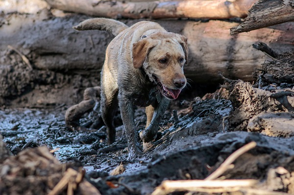 A search and rescue dog is guided through properties. The number of missing has fluctuated as people were located, said the Santa Barbara Sheriff