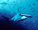 The hammerhead sharks grow as long as three meters (yards) and live for up to 50 years.