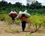 Workers who collect coca leaves, known locally as