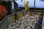 The decline in fish catches is influenced by many factors, from climate change to overfishing and boat activity.
