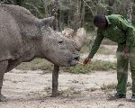 Sudan, the last surviving male northern white rhino, is fed by a warden at the Ol Pejeta Conservancy in Laikipia national park, Kenya May 3, 2017.