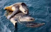 A pair of Olive Ridley turtles mate along the Bay of Bengal near Rushikulya, about 130 km from Bhubaneswar, January 4, 2009.