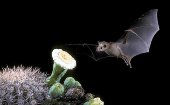 Lesser long-nosed bat feeds on agave and cacti.