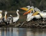 Pelicans are seen in the Divjake-Karavasta lagoon National Park in Divjaka, Albania.