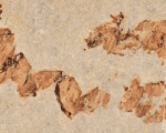Coprolites – or fossilized feces – found by scientists in Las Hoyas near Cuenca, Spain.