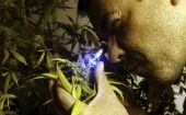 A marijuana cultivator inspects a flowering plant in Montevido, Uruguay.