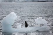 A penguin stands on an iceberg in Yankee Harbour, Antarctica