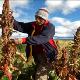 En 2017 Bolivia exportó alrededor de 31.500 toneladas de quinua.