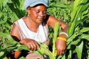 Women comprise 50 per cent or more of the agricultural labour force in parts of Africa and Asia.