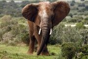 Scientists played on the elephant's fear of bees to develope a safe, affordable repellent for African farmers.