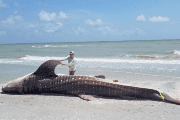 A dead whale shark is examined after being washed up along the shore of Sanibel Island, Florida, U.S., in this photo taken July 22, 2018.