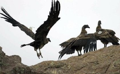 With a three-meter wingspan and weighing 15 kg, the Vulture Gryphus can fly as high as 5,000 meters.