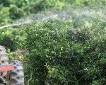 A worker sprays insecticide over orange trees on a farm in Limeira, Brazil, 2012.