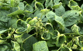 Soy leaves damaged by the weedkiller dicamba as part of research into whether the herbicide drifts, U.S., August 2, 2018.