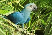 The Spix's macaw is the eighth bird species to go extinct this century.