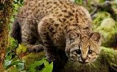 The kodkod wildcat was first listed on the Red List of the International Union for the Conservation of Nature (IUCN) in 1996.