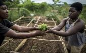 "Women planting papaya seeds at a tree nursery in Rwanda: the soil is treated with the ""mulching"" technique to reduce water loss and suppress weeds."