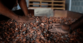 Cacao drying in Venezuela. Cacao is rich in flavonoids, 2018