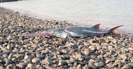 Solo 210 ejemplares del pez espátula chino fueron halladas entre 1981 y 2003, mientras que de 2017 a 2018 no se encontró ni un solo espécimen.