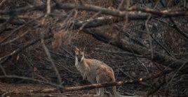 Más de mil millones de animales han muerto a causa de los incendios forestales que continúan en Australia.