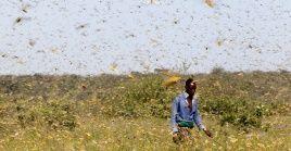 Las langostas del desierto son especies devoradoras de cosechas.
