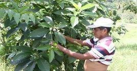 De acuerdo a los Concejos de Guías Espirituales el legado de Domingo  Choc, es el conocimiento de las plantas medicinales ancestrales y el respeto a la naturaleza.
