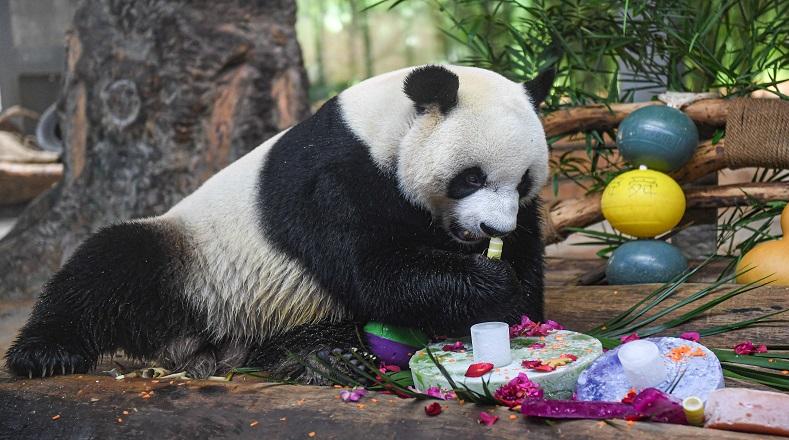 Se alimentan principalmente de bambú aunque dentro de su dieta también se incluyen ciertos mamíferos de pequeño tamaño, insectos, frutos y peces.