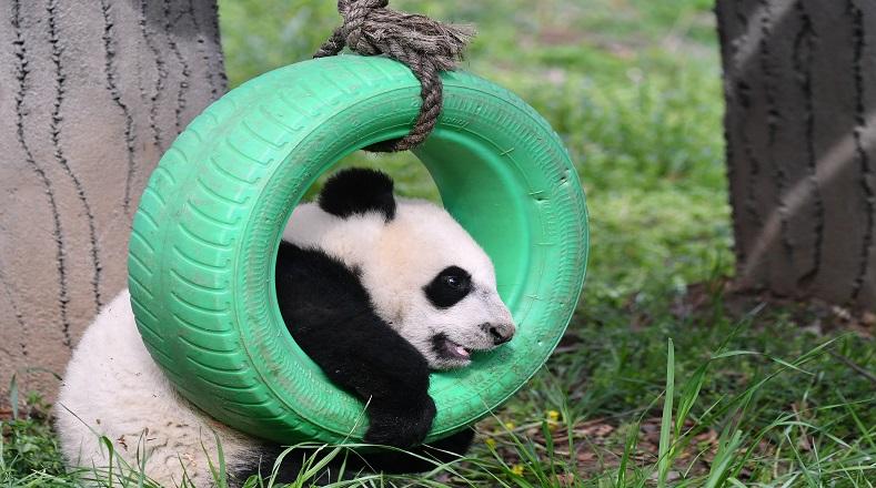 """En China se han implementado diversas medidas que han frenado el proceso de extinción de las especie. La Unión Internacional para la Conservación de la Naturaleza lo ha declarado """"vulnerable""""."""