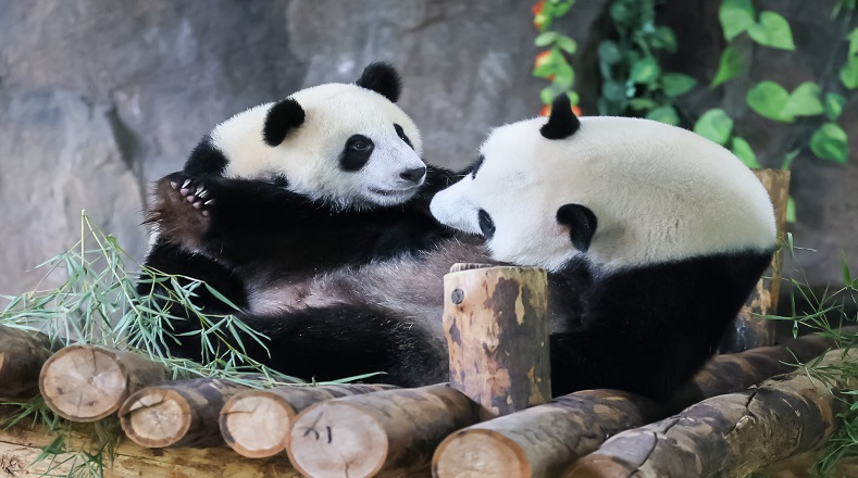 Expertos de organizaciones no gubernamentales y de Gobierno han especificado que los programas para preservar al panda gigante se han centrado en la preservación de la fauna salvaje y su hábitat natural.