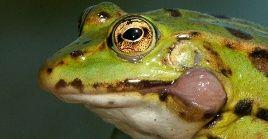 De las distintas variedades de ranasque existen en Europa la más sabrosa es la verde con tres franjas oscuras en el dorso.
