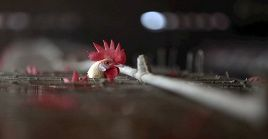 Bélgica identificó brotes de gripe aviar en tres granjas avícolas.