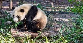 El censo más reciente realizado por las autoridades chinas registra un total de1.800 pandas que viven en estado salvaje.