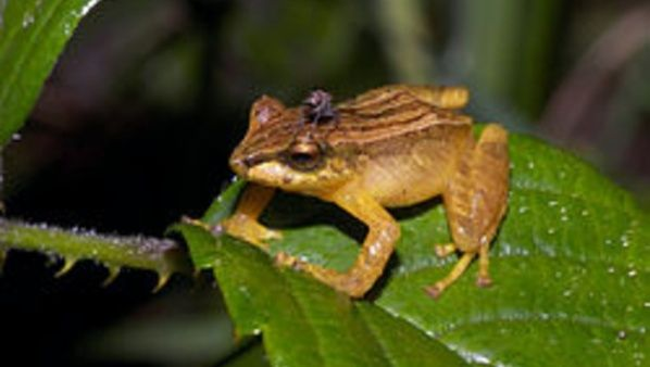 Pristimantis dorsopictus